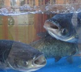 武汉胖头鱼