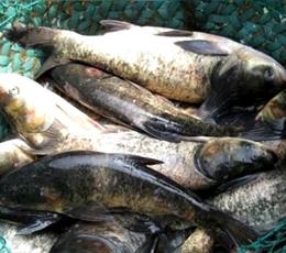 北京花鲢鱼