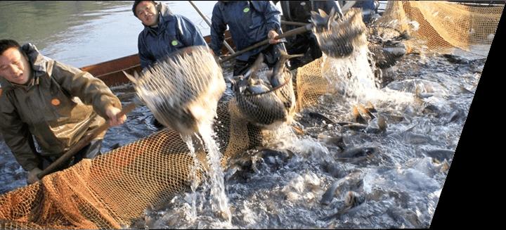 淡水鱼生态养殖